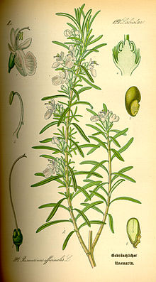 220px-Illustration_Rosmarinus_officinalis0