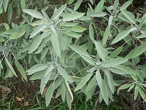 Salvia_officinalis_p1150380