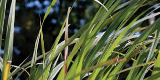 lemongrass2images